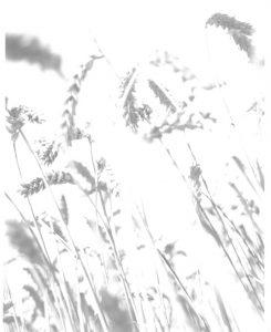 Wheat Barleylands Summer 2015